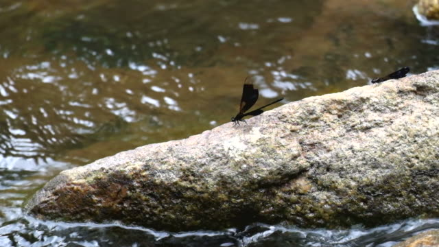 Black dragonfly on a rock along a river video