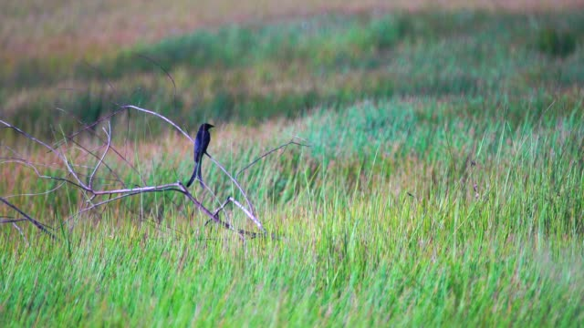 Black Drongo bird living in the natural field video