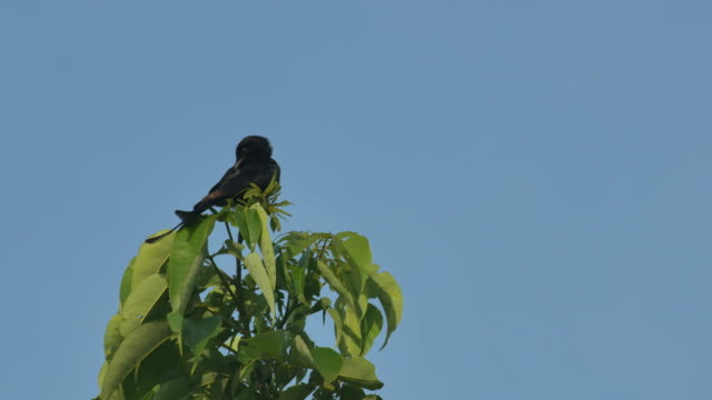 Black Drongo cleaning its body video