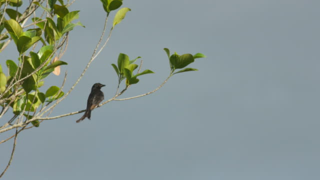 Black Drongo cleaning its wings video