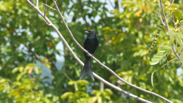 black drongo flying and returning to the same location video