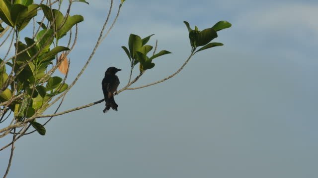 Black Drongo flying away video