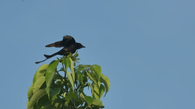 Black Drongo spreading its wings video