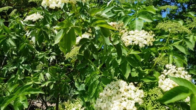 Schwarze ältere Pflanze aus Sicht der Biene – Video