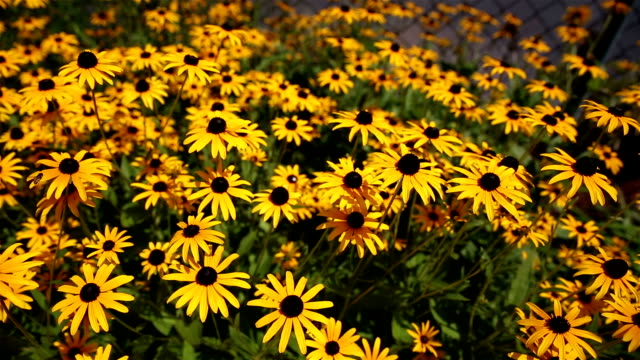 Black Eyed Susan Dollies