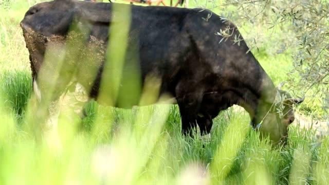 black free range cow eating grasses - white background стоковые видео и кадры b-roll