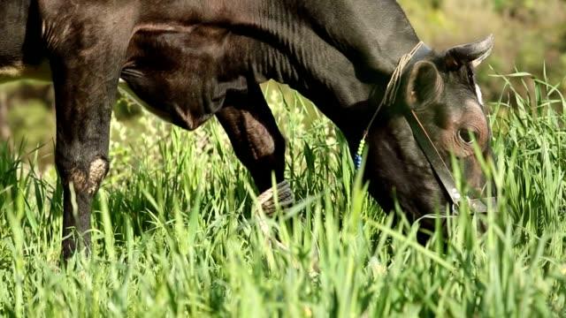 black freerange cow eating grasses closep - white background стоковые видео и кадры b-roll