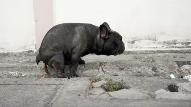 black french bull dog pooping on street. - молодое животное стоковые видео и кадры b-roll