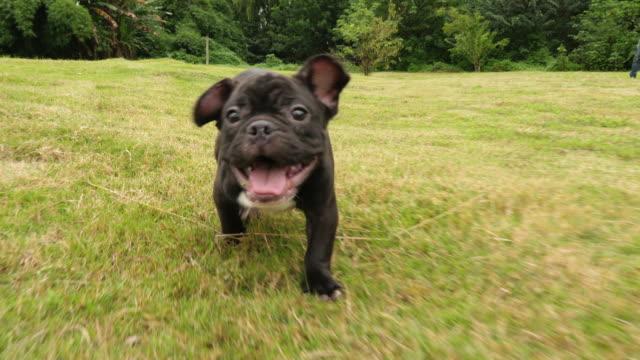 Black French Bulldog puppy running outdoor,4k