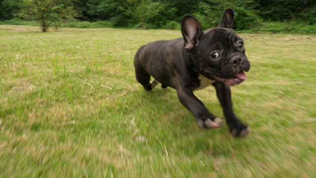 vídeos de stock e filmes b-roll de black french bulldog puppy running outdoor,4k - pets
