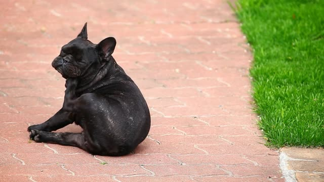 black french bulldog scratch road hd footage black french bulldog scratch road hd footage flea insect stock videos & royalty-free footage
