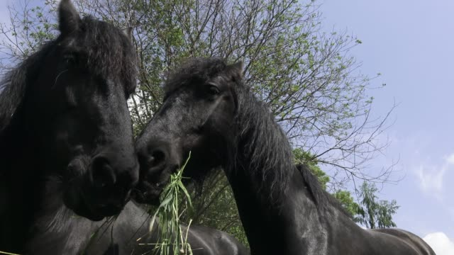 Black Friesian horse portrait close up. Black horse head. Portrait of a horse eating, feeding. video