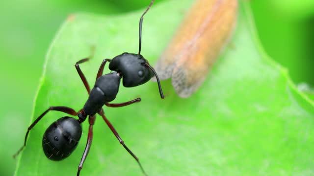 Black Garden Ant video