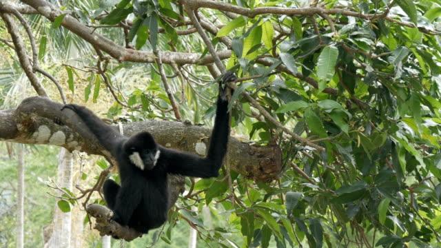 svart gibbon rida på trädgrenar - gibbon människoapa bildbanksvideor och videomaterial från bakom kulisserna