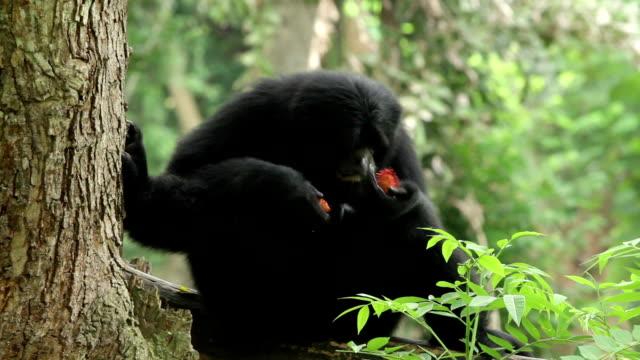 gibbone nero - gibbone video stock e b–roll