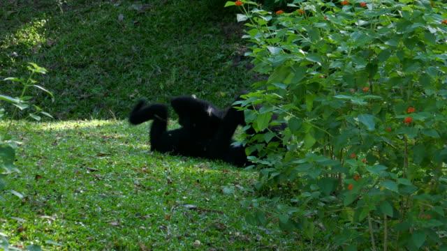 black gibbons or white-cheeked gibbon - gibbone video stock e b–roll