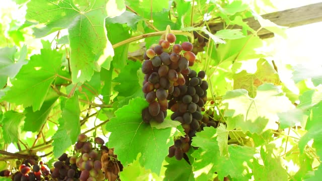 black grapes on a branch of the vineyard