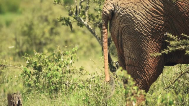 Black Hair On The Tip Of The Tail And The Leathery Thick Skin Backside Of The African Bush Elephant In Kenya. -wide shot