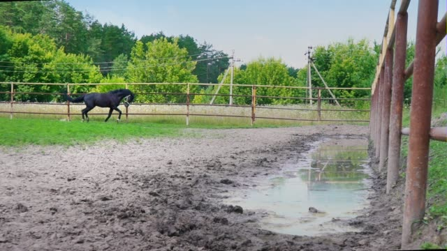 Black horse starts up and runs along the iron fence of the paddock, the horse racing Black horse starts up and runs along the iron fence of the paddock, the horse racing. Graceful stallion galloping paddock stock videos & royalty-free footage