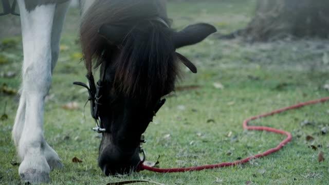 Black horses grazing grass video