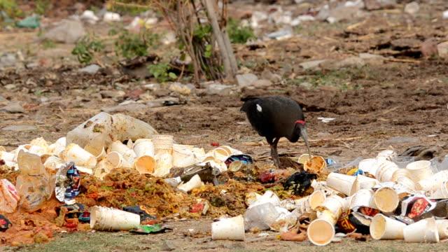 Black Ibis video
