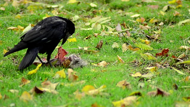 Black jackdaw searching for food - Stock Video video