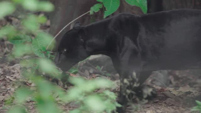 black jaguar walking