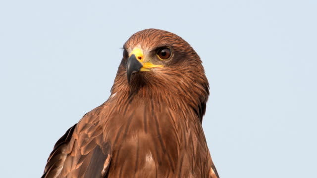 Black Kite Bird portrait of Black Kite Bird Sitting on a Branch falcon bird stock videos & royalty-free footage