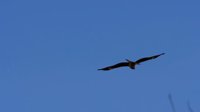 A black kite flying in blue sky A black kite flying in blue sky. Business concept image. hawk bird stock videos & royalty-free footage