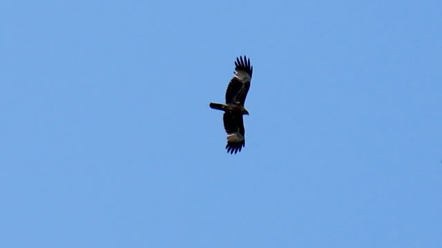 A black kite flying in blue sky A black kite flying in blue sky hawk bird stock videos & royalty-free footage