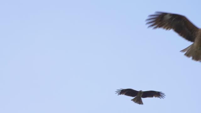 Black kites and hawks flying in blue sky Black kites and hawks flying in blue sky. Fukuoka, Japan hawk bird stock videos & royalty-free footage