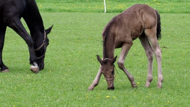 black kladrubian horse, mare with foal - cavalla video stock e b–roll