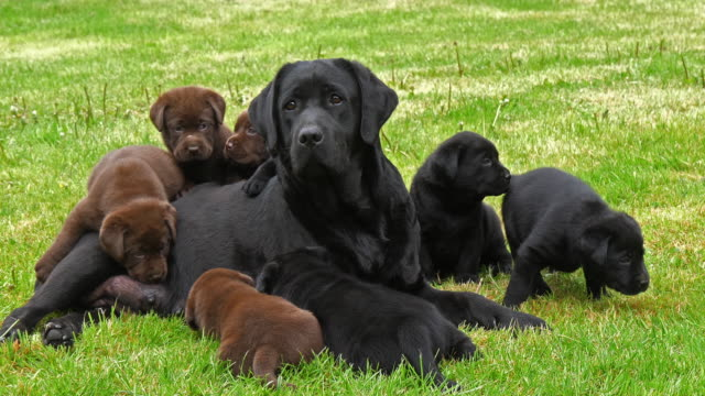 Black Labrador Retriever Bitch and Black and Brown Puppies on the Lawn, Normandy, 4K Slow Motion Black Labrador Retriever Bitch and Black and Brown Puppies on the Lawn, Normandy, 4K Slow Motion puppy stock videos & royalty-free footage
