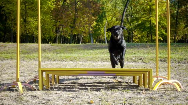vídeos y material grabado en eventos de stock de perro perdiguero de labrador negro en obstáculo - training