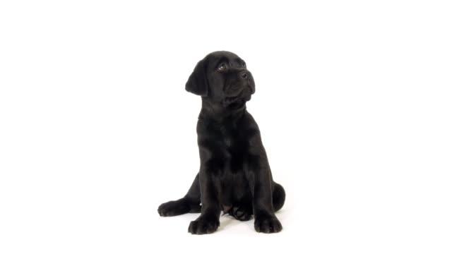 90 Black Labrador Puppy Stock Videos And Royalty Free Footage Istock