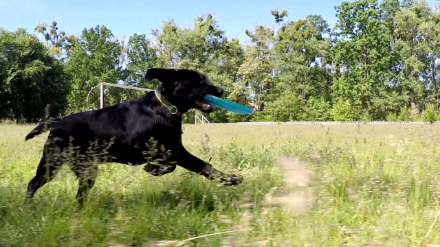 Black labrador runs with the frisbee. Slow motion. Puppy Labrador is playing with frisbee. puppy stock videos & royalty-free footage