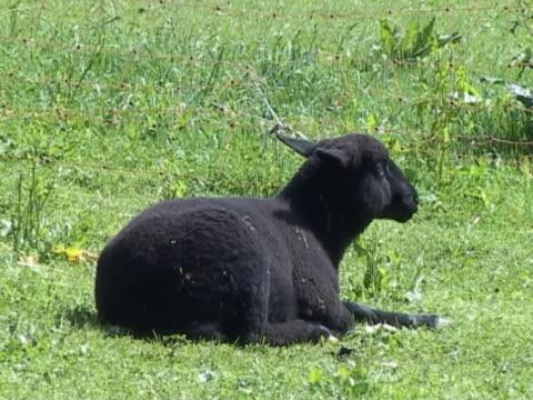 Black lamb resting A black lamb resting in the sun. panting stock videos & royalty-free footage