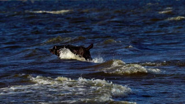 SLOW MOTION:  Black large dog (breed Labrador) runs along the sandy shore. The dog jumps into the water, swims and sports with the owner. Small bubbling waves roll on the sandy shore. Summer sunny evening on a sandy beach. video
