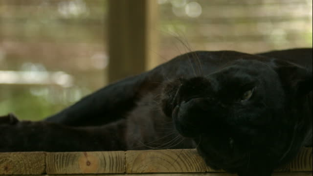 Black Leopard Laying on its Side, Rolling around and Scratching its Back/Neck video