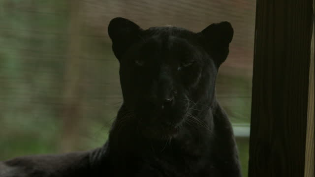 Black Leopard Yawning and Shaking its Head in Slow Motion video