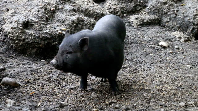 Black little pig sniffing the ground in zoo video