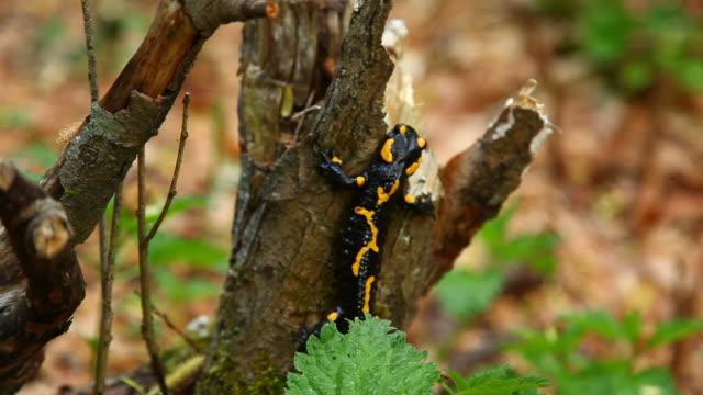 Black lizard Black lizard on a tree. gecko stock videos & royalty-free footage