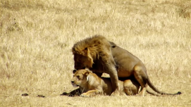 Black mane lions mating in Ngorongoro Conservation Area, Tanzania video