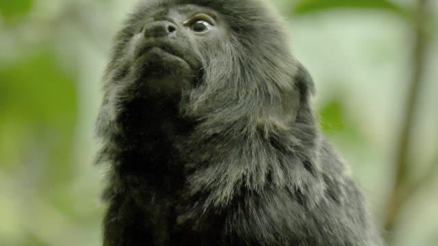 Black marmoset monkey looking all around- close up video