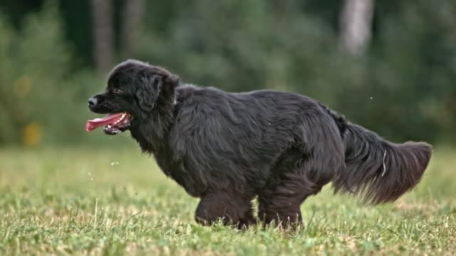 SLO MO TS Black Newfoundland dog running in meadow
