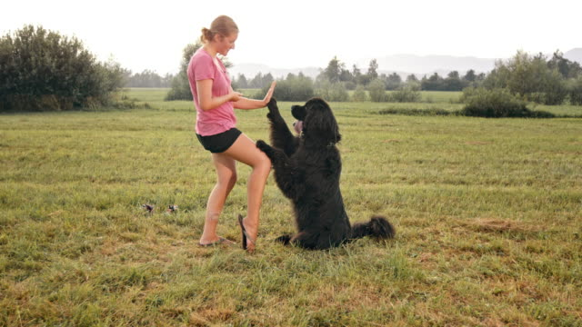 SLO MO Black Newfoundland giving high five to female owner video