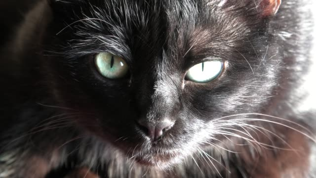 Black panther cat Close up of a common, european black cat with green eyes open. Horror atmospheres and halloween concept. Look panther and witch eyes. Bad luck and superstition. luck stock videos & royalty-free footage
