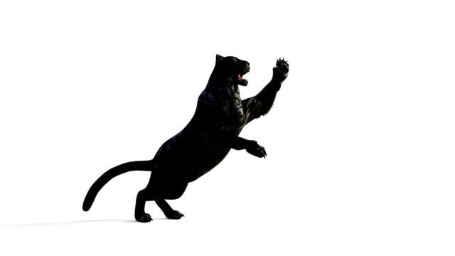 black panther isolatet på vit bakgrund med alpha markera. - leopard bildbanksvideor och videomaterial från bakom kulisserna