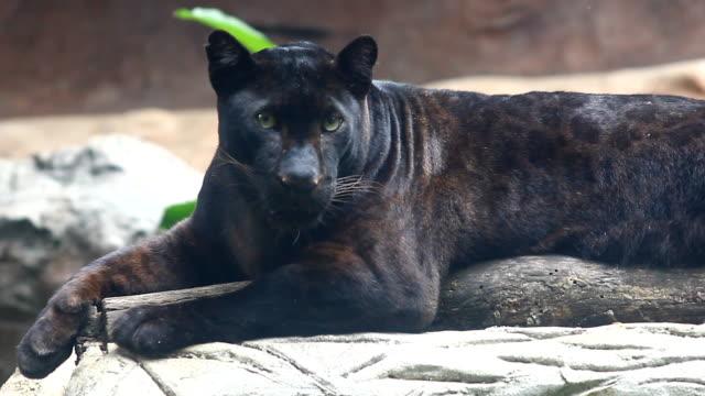 svart panter - leopard bildbanksvideor och videomaterial från bakom kulisserna
