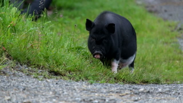 Black pig video